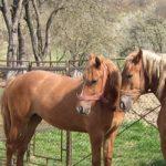 Doi cai furați, recuperați de polițiștii buhușeni